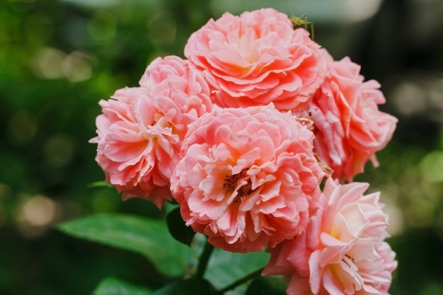 Pink garden roses pink tea roses on a green background floral background copyspace
