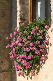 루마니아 몰도비아 수체비타 수도원의 벽에 꽃이 핀 분홍색 제라늄