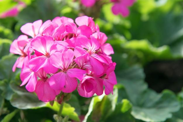 Pink geranium flowers