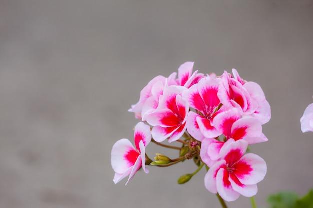 Pink geranium in summer garden