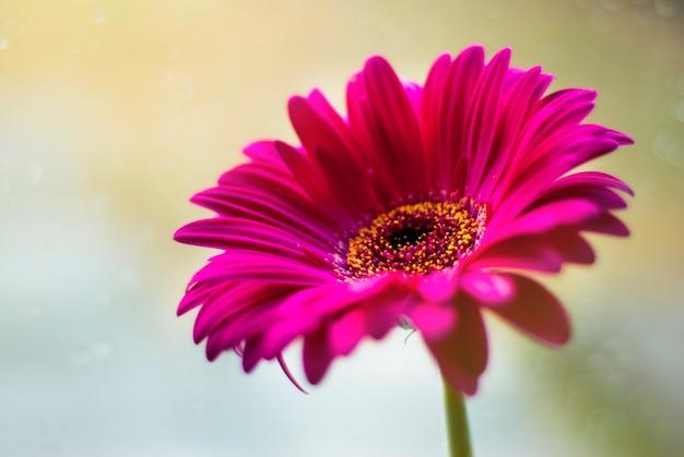 Pink gerbera daisy flower head.