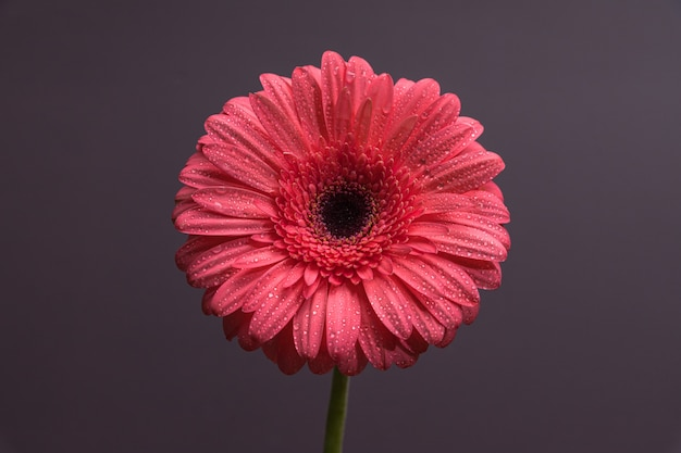 Pink gerbera flower bud with lots of tiny drops of water close-up on plain background
