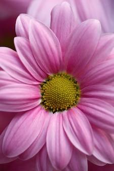 ピンクのガーベラの花のクローズアップ