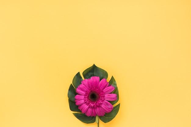 Pink gerbera flower on green leaf