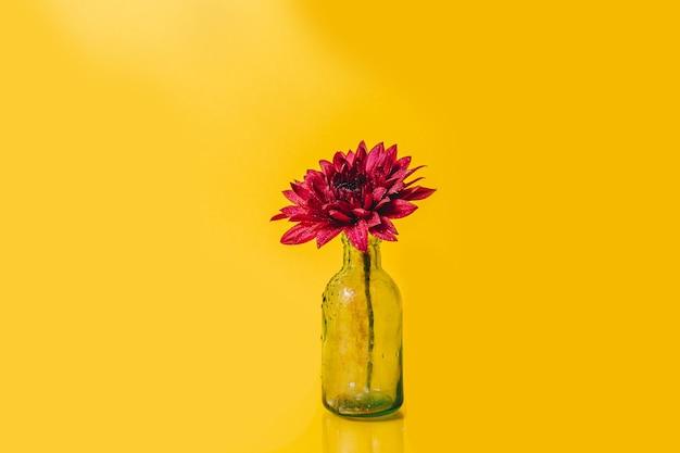 黄色の背景にガラス瓶の露のピンクのガーベラの花