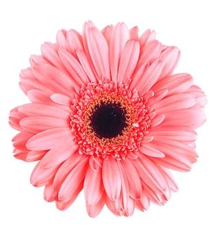 白で隔離されるピンクのガーベラの花