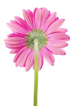핑크 gerbera 꽃 흰색 절연