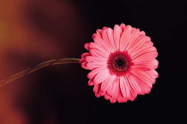 색상 하이라이트가 있는 검정색 배경에 분홍색 거베라 꽃