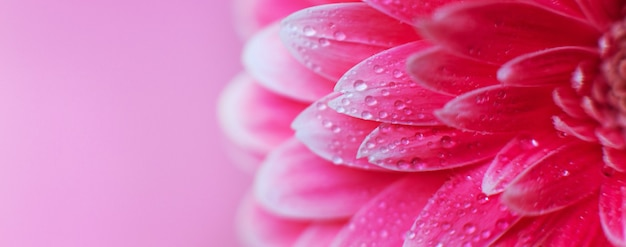 Розовые лепестки цветка герберы с каплями воды, макрос на цветке, красивый абстрактный фон. баннер