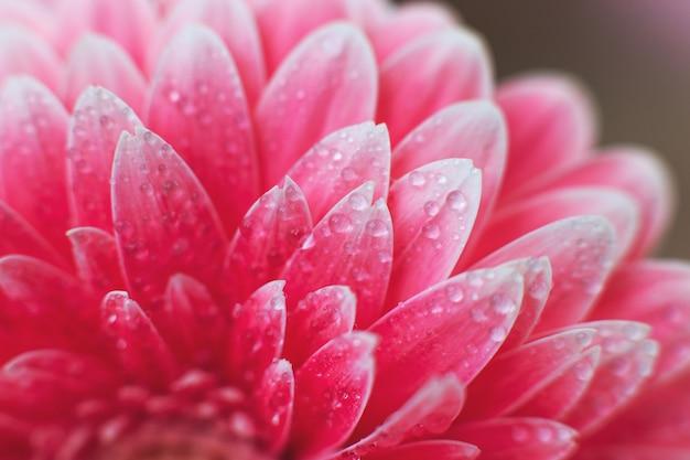 Розовые лепестки цветов герберы с каплями воды, макрос на цветке, красивый абстрактный фон