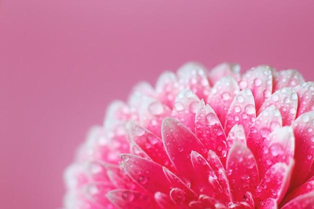 水滴とピンクのガーベラの花びら