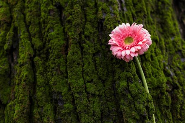 Pink gerbera flower on tree bark
