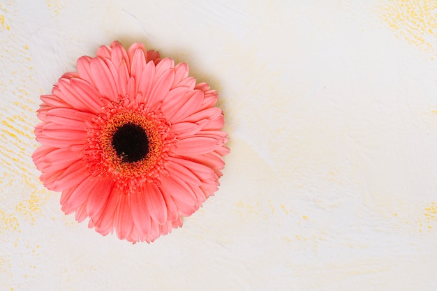 Pink gerbera flower on white table