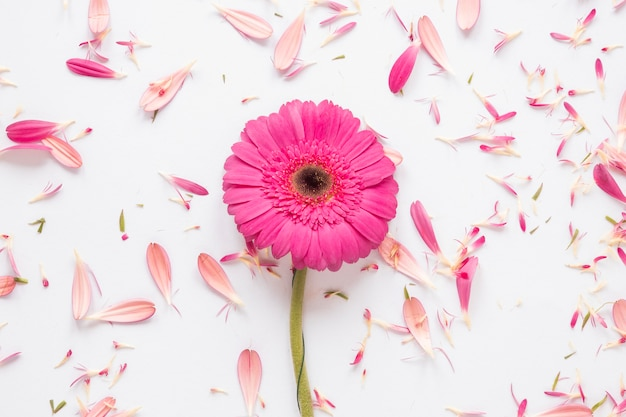 Pink gerbera flower with petals on white table