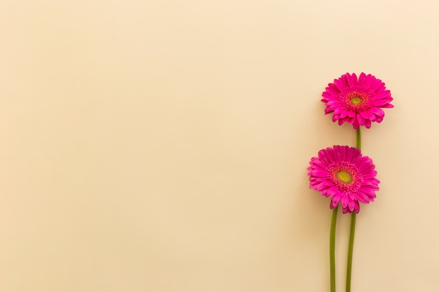 Pink gerbera flowers over beige backdrop