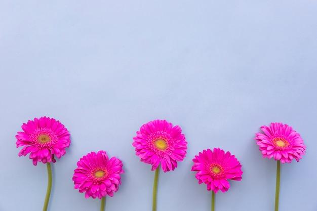 Pink gerbera flowers over blue backdrop