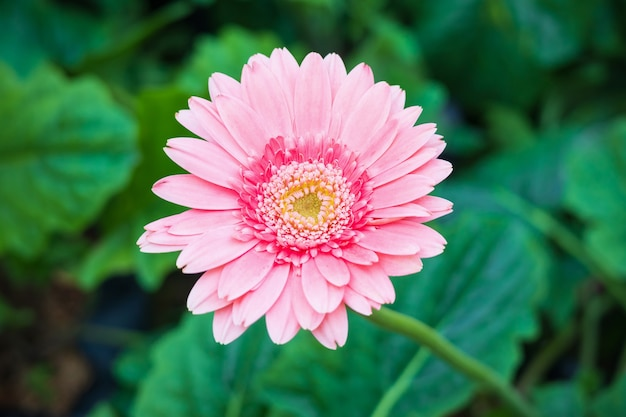 정원에서 핑크 gerbera 꽃