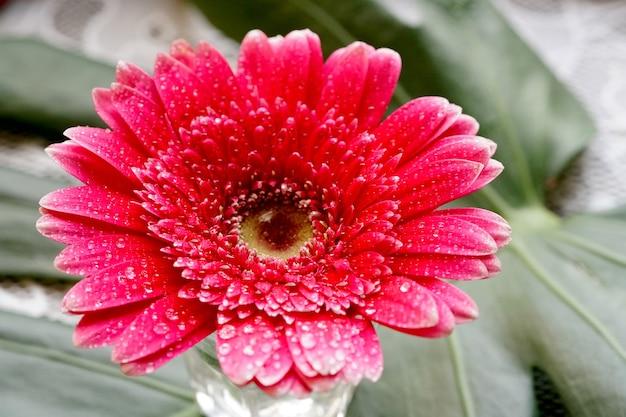 緑のモンステラデリシオサの葉の背景にピンクのガーベラガーベラjamesonii