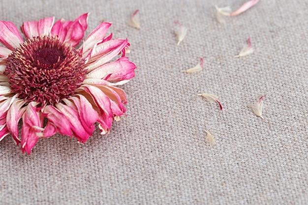 복사 공간 자연 린 넨 천으로 핑크 gerbera 매크로. 배경 또는 엽서 반 건조 꽃의 닫습니다.
