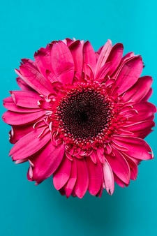 Pink gerbera on turquoise background