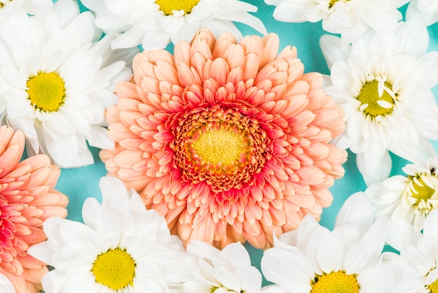 Pink gerbera with white flowers on colored backdrop