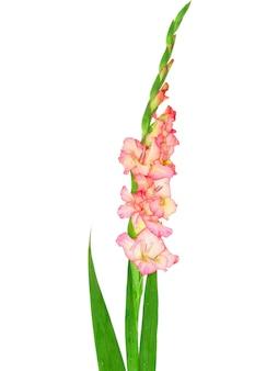Pink gladiolus . close-up. isolated on white.