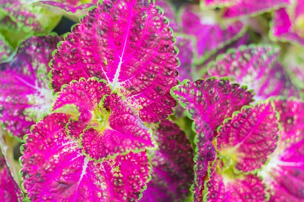 Pink and green leaves of coleus plant(soft focus)