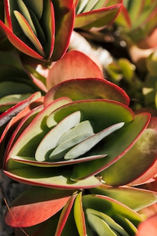 Pink and green paddle plant kalanchoe luciae succulent