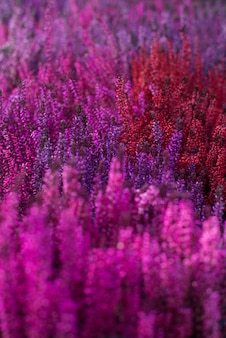 Pink heather flowers by a dense wall. texture, background.