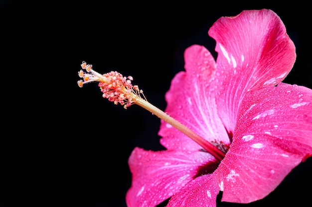Pink hibiscus flower on black surface.