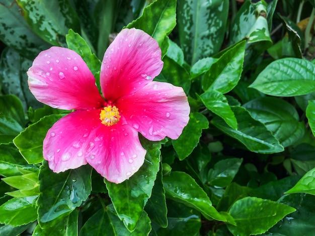 Розовый цветок гибискуса расцветает на фоне зеленого листа.