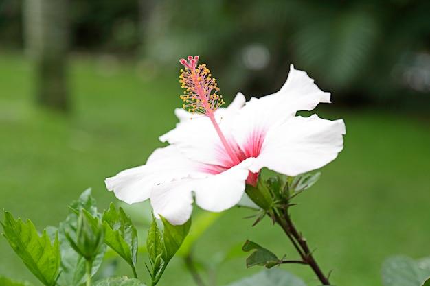 Розовый цветок гибискуса на зеленом фоне.