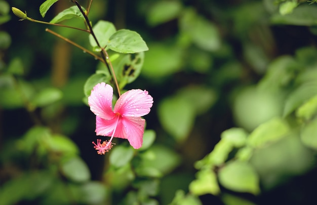 Pink hibiscus flower with green blur  in the tropical garden
