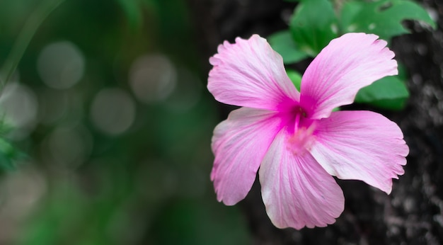 Pink hibiscus flower.