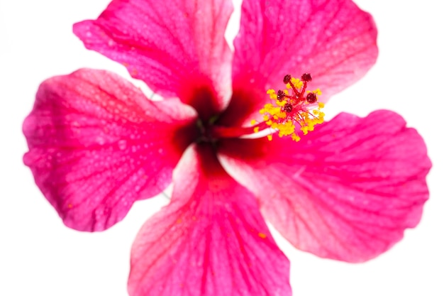 Pink hibiscus flowers on white background.
