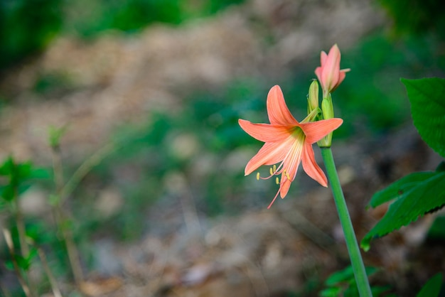 Pink hippeastrum amaryllis flower in the garden.