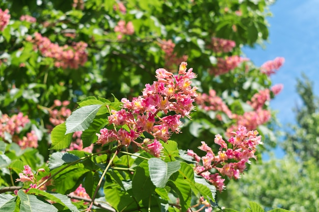 Pink horse chestnut flowers