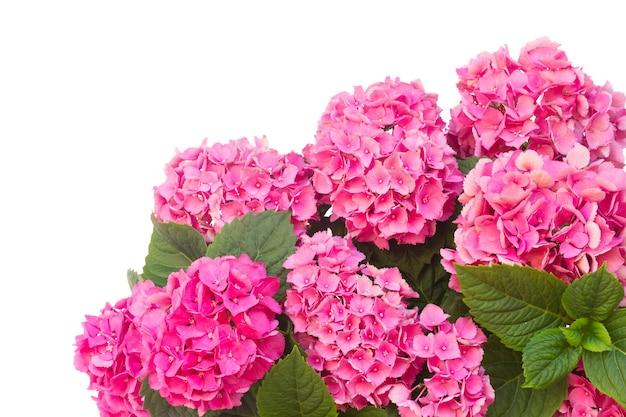 ピンクのオルテンシアの花が孤立してクローズアップ