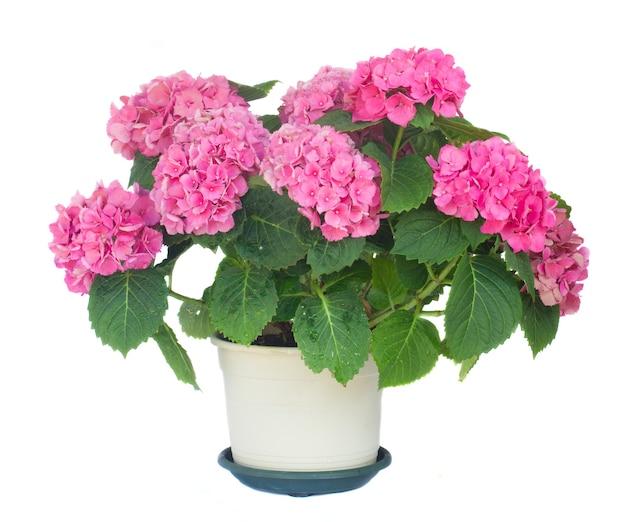 Розовые цветы гортензии в горшке крупным планом изолированные