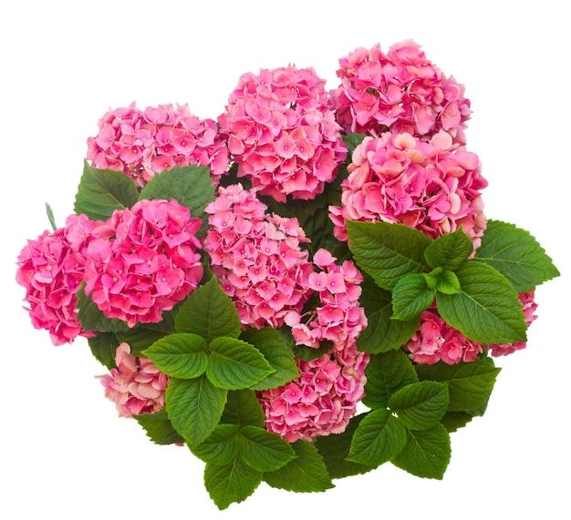 Розовые цветы гортензии изолированные