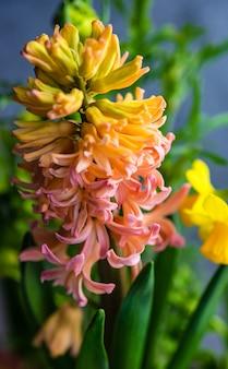 春のポット構成としてのピンクのヒヤシンスの花のイナポット