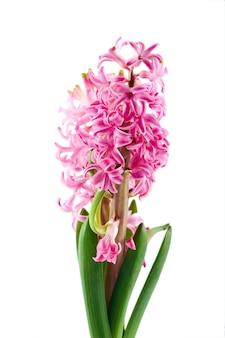 Розовый цветок гиацинта на белом фоне