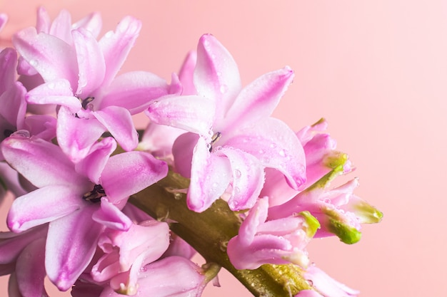 Pink hyacinth flowers with drops of water d. macro photo. the concept of a holiday, celebration, women's day, spring.