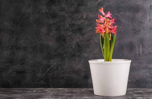 Розовый гиацинт в цветочном горшке