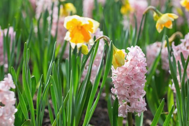 네덜란드 공원에서 핑크 히아신스와 노란색 수선화