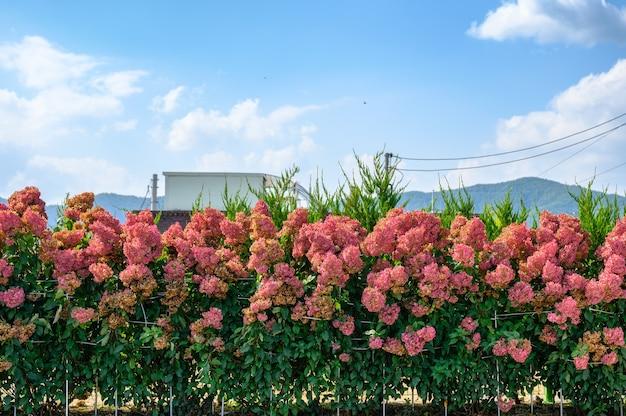 시골의 푸른 하늘이 있는 정원에서 녹색 잎으로 피는 분홍색 수국