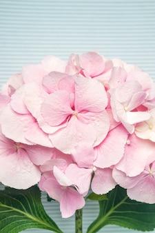 Pink hydrangea flower on blue