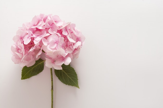 Pink hydrangea flower isolated