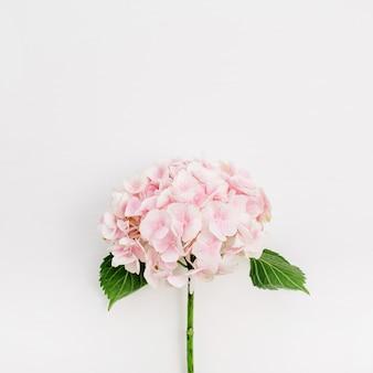 白い表面にピンクのアジサイの花