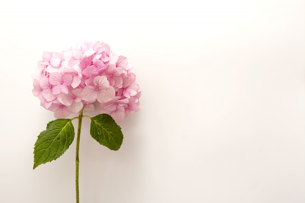 Pink hydrangea flower on white background, top view.